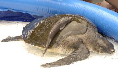 skildpadde uden skjold